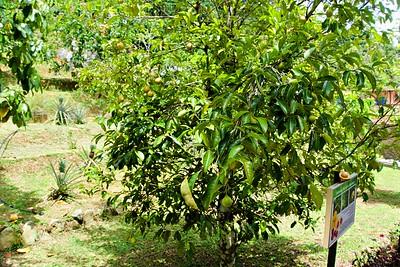 Nutmeg or Jaiphal Tree