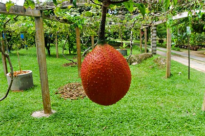 Gấc Fruit or Momordica cochinchinensis