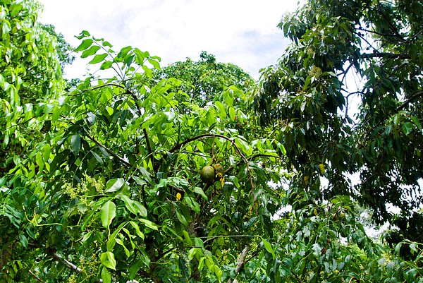 Hog Plum Tree With Fruits