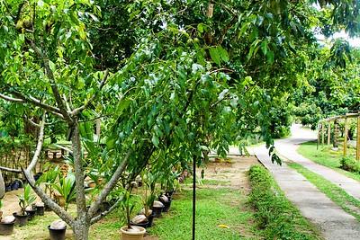 Hog Plum Trees