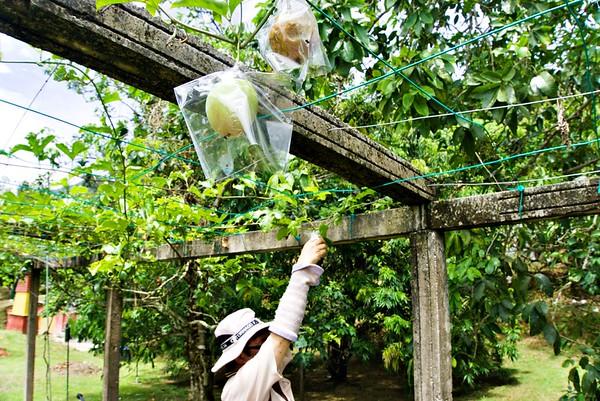 Climbing Plant Fruits in Penang Fruit Farm