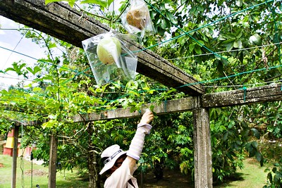 Climbing Plant Fruits in Penang Fruit Farm