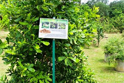 Macadamia integrifolia Tree in Penang