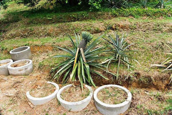 Pineapple of Penang
