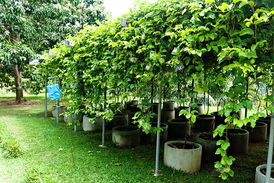 Passion Fruit Climbers at the Penang Fruit Farm