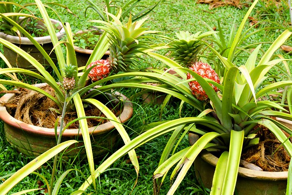 Picturesque Fruit Plants at Penang Fruit Farm