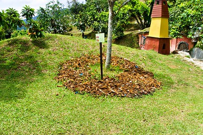 Mulching for the roots of the Mamy sapote (Pouteria sapota) tree at the Penang Tropical Fruit Farm, Malaysia.