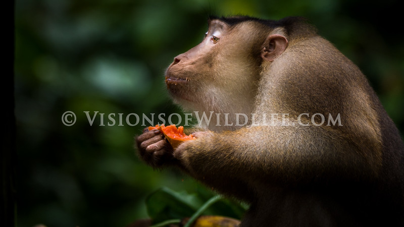 Pig-tailed macaque