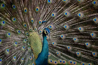 Peacock in Kuala Lumpur, Malaysia.