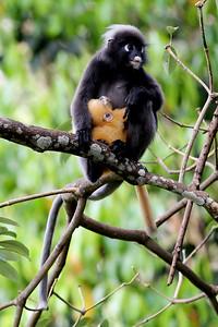 Dusky Leaf Monkeys, The Andaman Resort, Kedah, Langkawi island, Malaysia