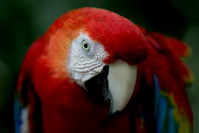 Scarlet Macaw, KL Bird Park, Perdana Botanical Garden, Heritage Park, Kuala Lumpur, Malaysia