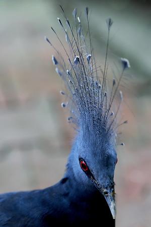 Victoria Crowned Pigeon, KL Bird Park, Perdana Botanical Garden, Heritage Park, Kuala Lumpur, Malaysia