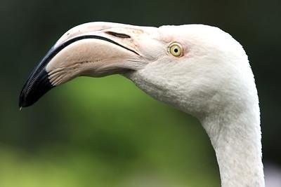 Flamingo, Perdana Botanical Garden, Heritage Park, Kuala Lumpur, Malaysia