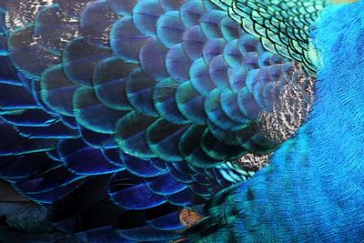 Indian Blue Peacock, KL Bird Park, Perdana Botanical Garden, Heritage Park, Kuala Lumpur, Malaysia