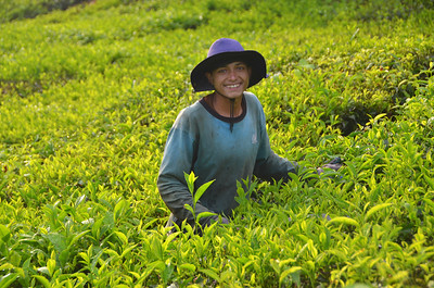 Picking tea leaves in the Cameron Highlands of Malaysia.