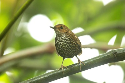 Pygmy Cupwing