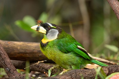 Fire-Tufted Barbet
