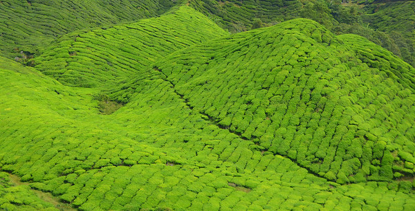 Tea fields in the Cameron Highlands of Malaysia.