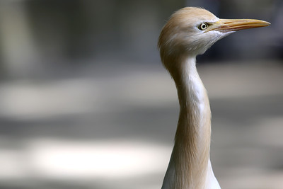 Cattle Egret, KL Bird Park, Perdana Botanical Garden, Heritage Park, Kuala Lumpur, Malaysia