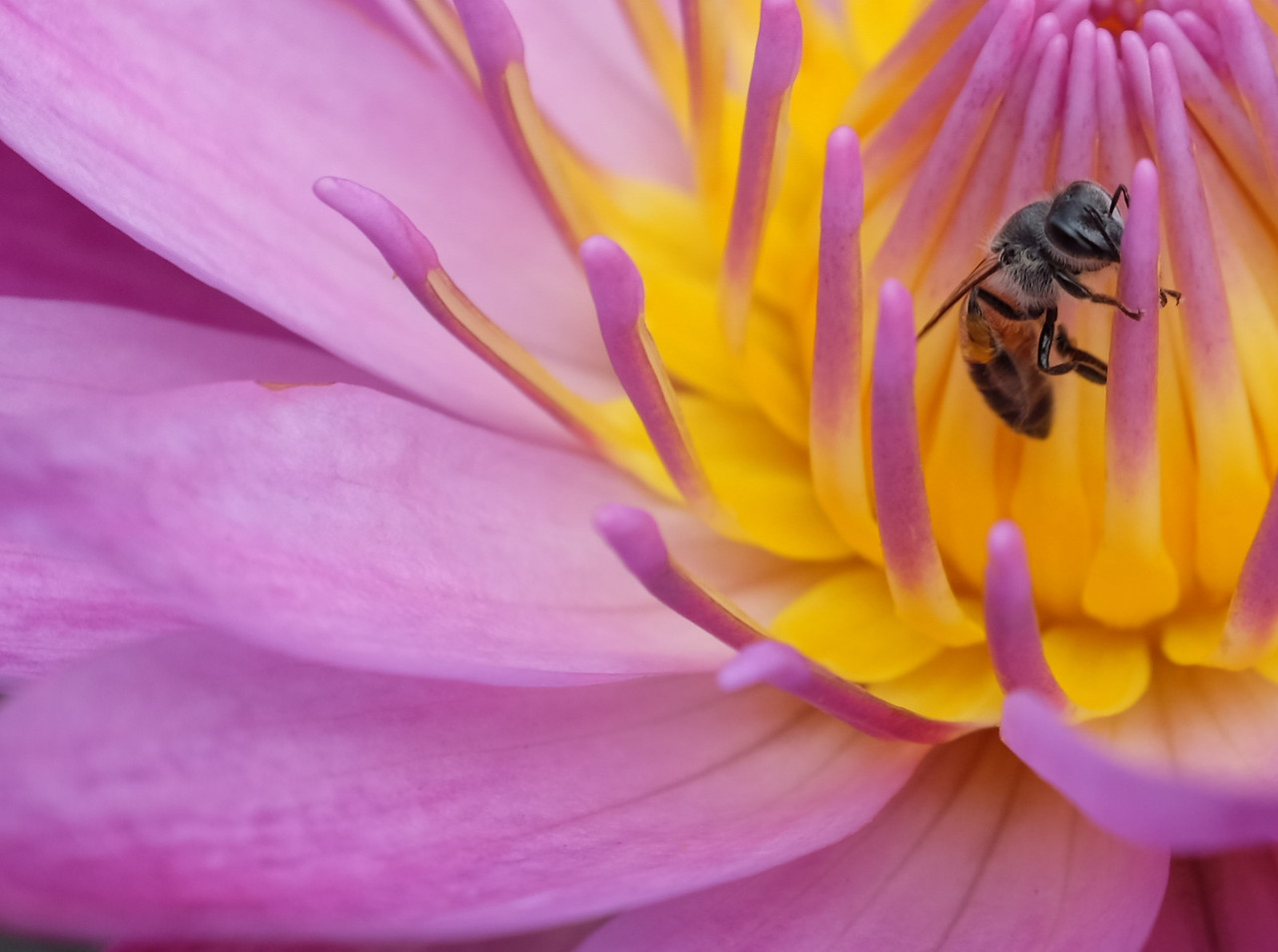 Bee on a lotus flower.  Penang, Malaysia.