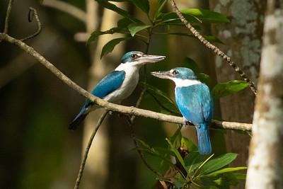 Collared Kingfishers