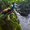 Today's feature travel image is of a coloful peacock posing rather regally beside a waterfall located at Kuala Lumpur Bird Park in Kuala Lumpur, Malaysia.