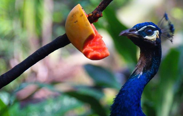 Peacock eating papaya at the KL Bird Park