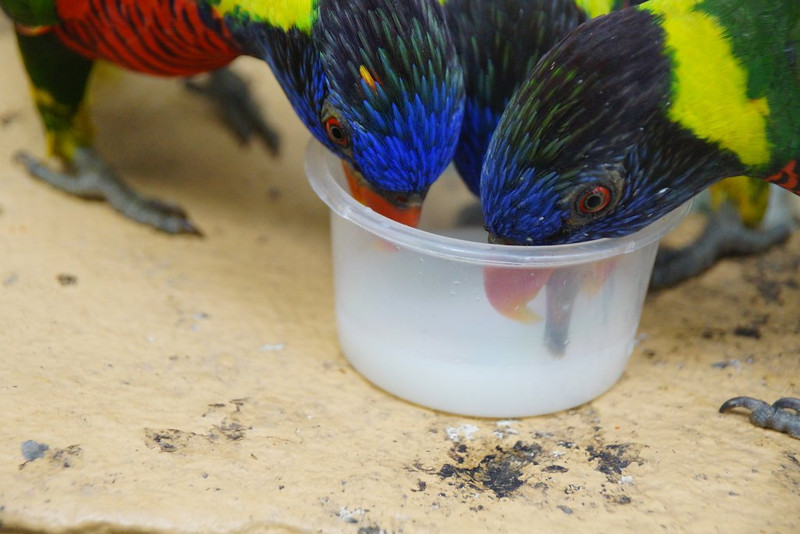 This is a travel photo of some birds gathered around a cup while drinking from it at Kuala Lumpur Bird Park in Kuala Lumpur, Malaysia.