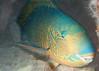 Parrotfish (Bridled Parrotfish ?)