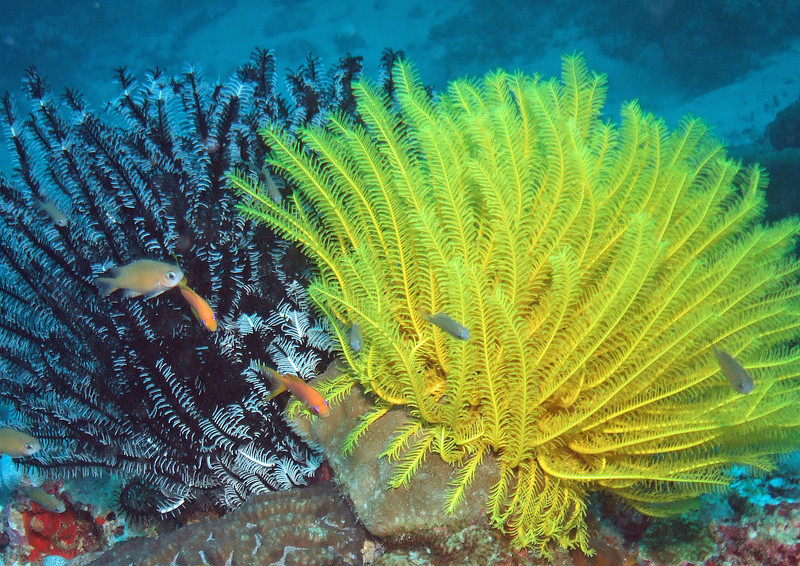 Feather stars (crinoids)