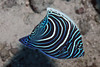 Juvenile Blue-Face Angelfish