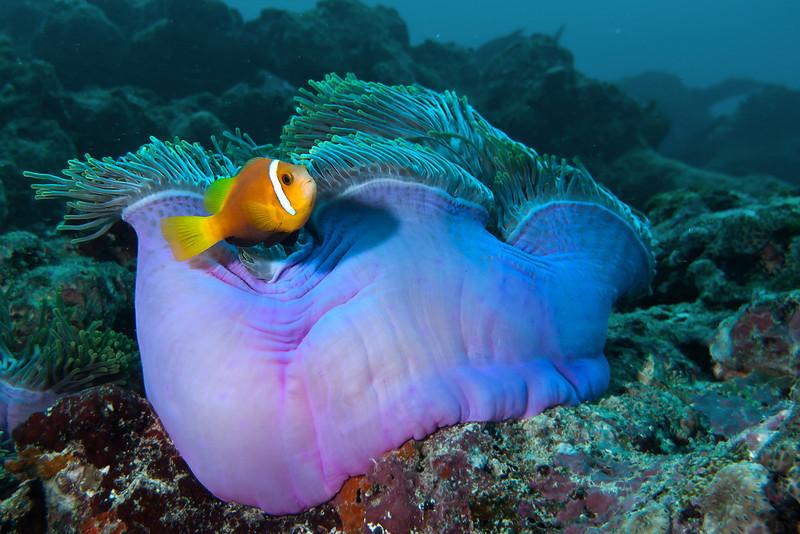 Clownfish and anemone, Meeru island, Maldives