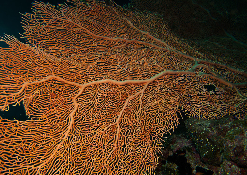 Gorgonian coral, Male atoll, Maldives