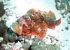 Scorpionfish ( Scorpaenopsis diabolus )