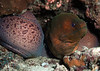 Barred thicklip moray ( Gymnothorax Javanicus )