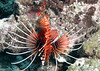 Red Lionfish ( Pterois Volitans )
