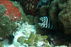 Zebra Moray Eel