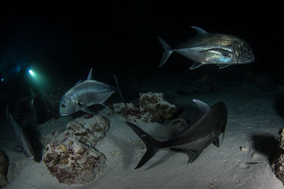 Trevally's on the Night dive