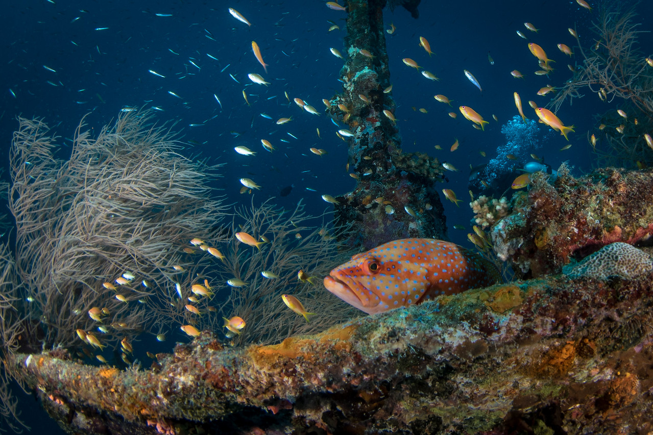 Grouper on Wreck
