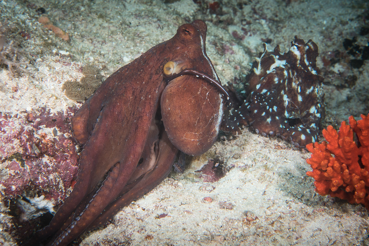 Mating Octopus
