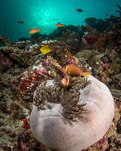 Anemone on the Reef