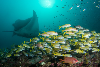 Manta Rays and Blue Stripe Snappers