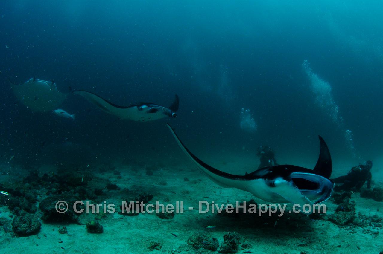 Manta Rays at Dhonkalo, Maldives