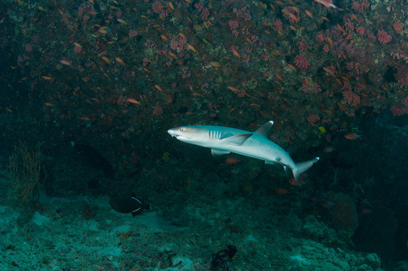 White tip shark Maldlves MV Orion January 2011