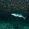 White tip shark Maldlves MV Orion January 2011