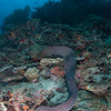 Moray eel Maldlves MV Orion January 2011