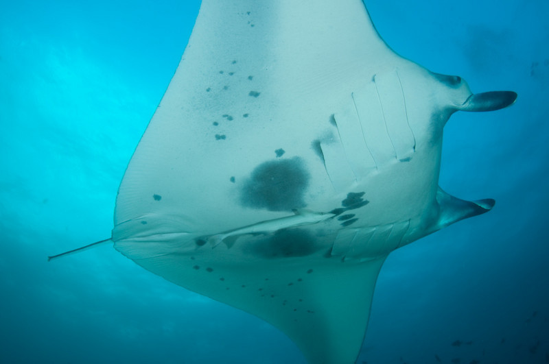 Manta Ray Maldives MV Orion January 2011
