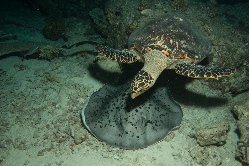 Turtle and Sting Ray, Maya Thila Night Dive, Maldives