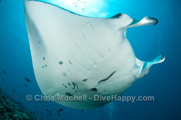 Manta Ray (pic taken in the Maldives, not Myanmar!)