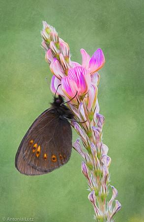 Gelbäugiger oder Mandeläugiger Mohrenfalter (Erebia alberganus)